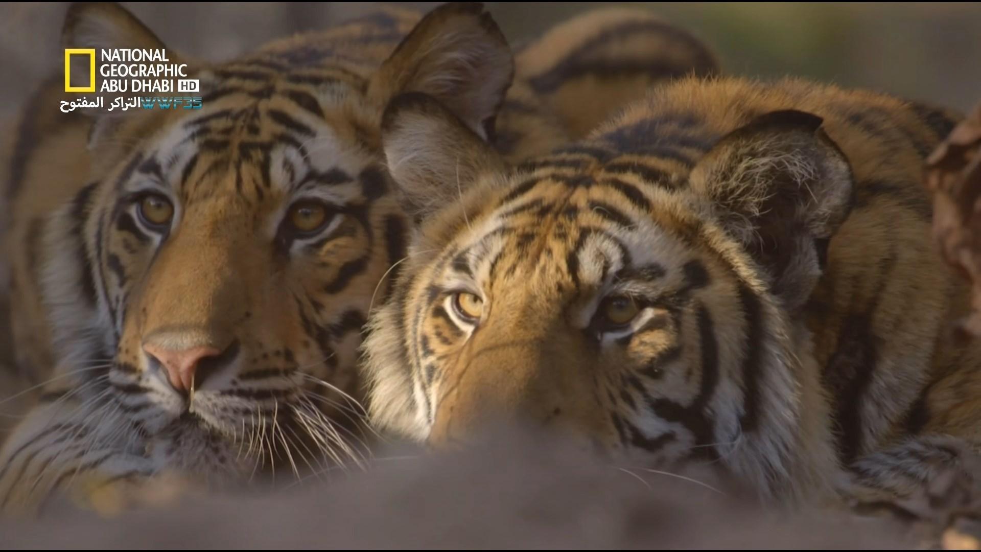 انقراض النمور counting tiger[مدبلج] [1080p] تحميل تورنت 7 arabp2p.com