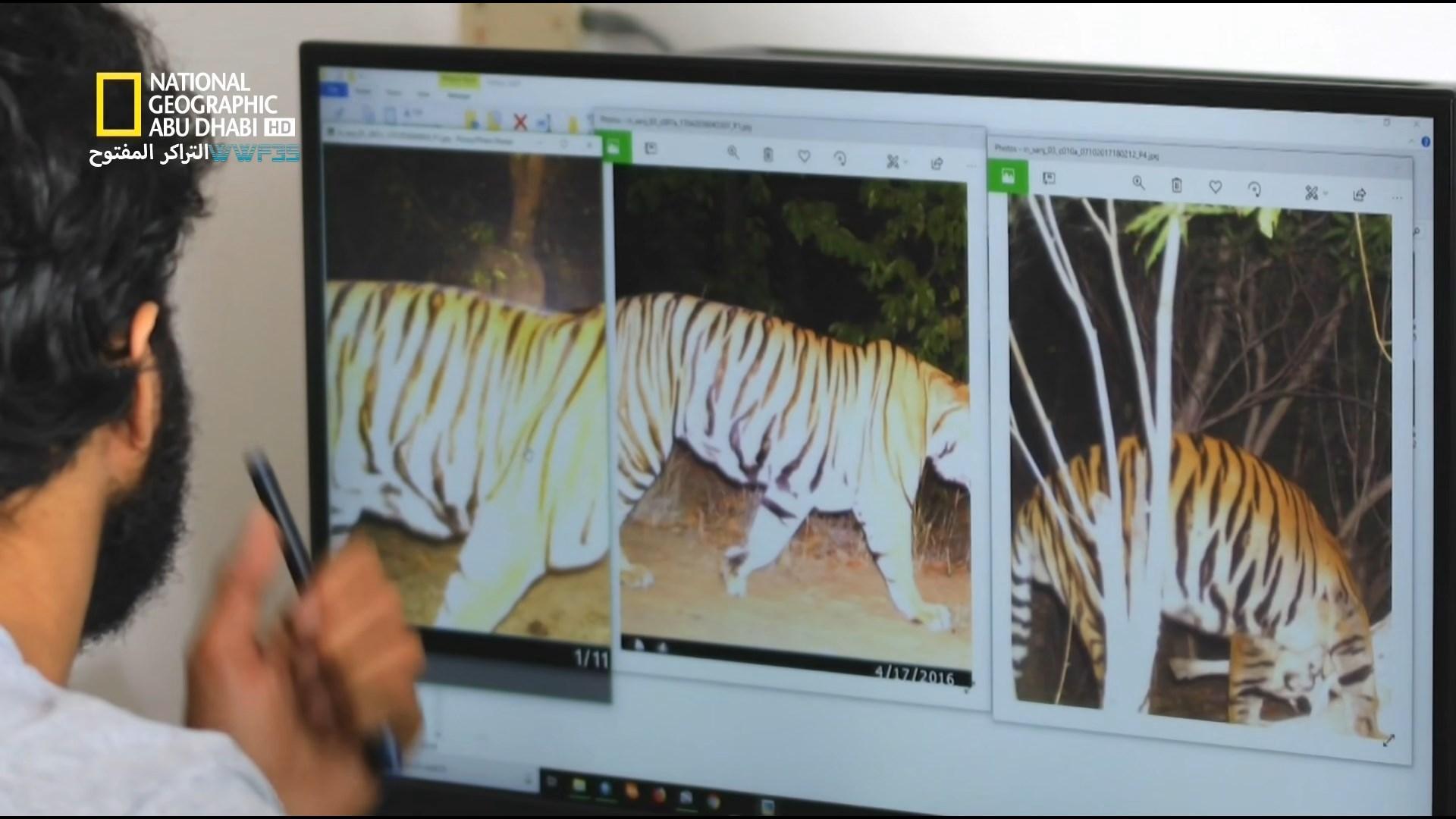 انقراض النمور counting tiger[مدبلج] [1080p] تحميل تورنت 6 arabp2p.com